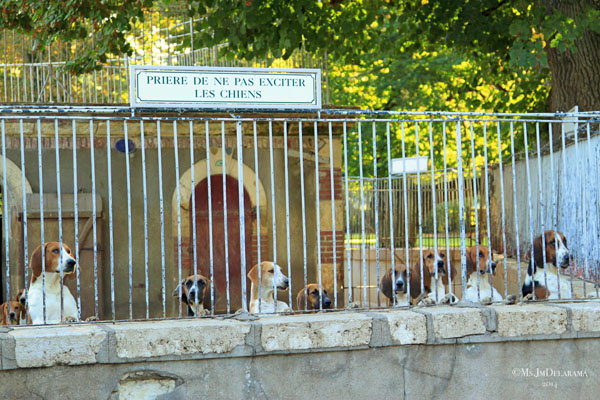 Special hounds at Château Cheverny. They're huge!